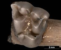 Image of bilby tooth