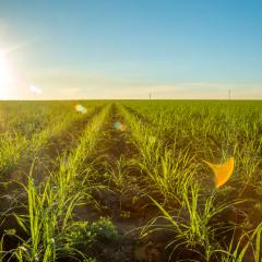 Land for sugar cane production in Brazil could potentially expand by an area of five million hectares by 2030 in order to meet future demand for ethanol biofuel.