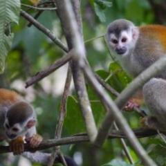 The Central American squirrel monkey is listed as vulnerable. Credit: Linda De Volder, MM Switzerland