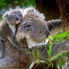 Native Australian species, such as the koala, have lost one million hectares since 2000.